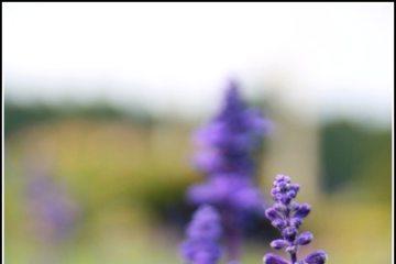【九族花季。二部曲《三月‧紫戀薰衣草》】我想是我去的不是時候
