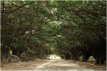 台南新營【長勝營區綠色隧道】。老榕秘境與芒果長道,永留子孫的珍貴資產